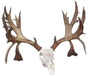 Antlers For Sale >> Antler Tom Com Whitetail Antlers Mule Deer Trophy Racks